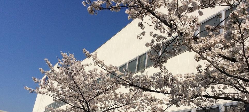 深谷工場の桜